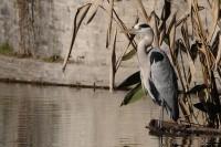 Heron-cendre-16